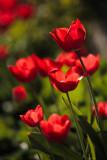 20120327 - Tuliped