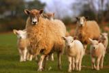 20120329 - Nosey Sheepies