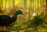 20120405 - Hello Ducky