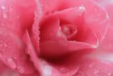 20120409 - Camellia