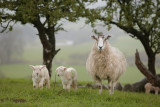 20120418 - More Sodden Sheep