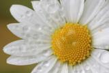 20120611 - Drippy Daisy