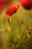 20120625 - Poppy