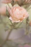 20120829 - Rose
