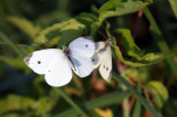 Cabbage White IMG_4930.jpg