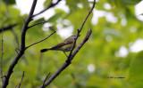 American Redstart female IMG_5818.jpg