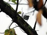 Black and White Warbler IMG_5887.jpg