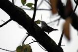 Black and White Warbler IMG_5891.jpg