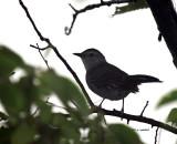 Gray Catbird IMG_5668.jpg