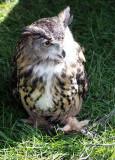 Eurasian Eagle Owl IMG_8066.jpg