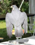 Peregrine Falcon IMG_8083.jpg