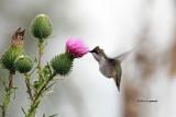 Ruby-throat Hummingbird IMG_8664.jpg