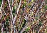 Song Sparrow IMG_8332.jpg