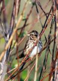 Song Sparrow IMG_8360.jpg