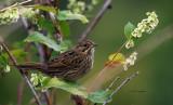 Lincoln Sparrow IMG_9561.jpg