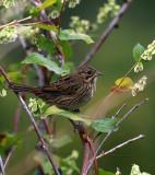 Lincoln Sparrow IMG_9566.jpg