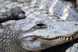 Croc-Agator Alley IMG_1164.jpg