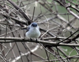 Blue-gray Gnatcatcher IMG_3006.jpg