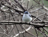 Blue-gray Gnatcatcher IMG_3008.jpg
