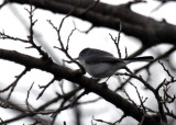Blue-gray Gnatcatcher IMG_3041.jpg