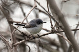 Blue-gray Gnatcatcher IMG_3059.jpg