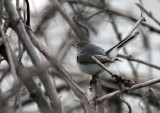Blue-gray Gnatcatcher IMG_3069.jpg