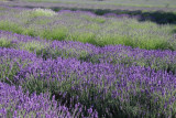 Lots and Lots of Lavender