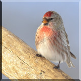 A Common Redpoll With Slightly Different Markings