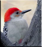The Red Bellied Woodpecker Gallery