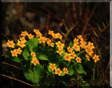 Marsh Marigolds a.k.a. Cow Slips (Cattha palstris)