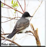 An Eastern Kingbird Up Close
