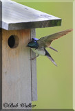 Tree Swallows Pose Constant Threat To Young Blue Bird's Birdhouse