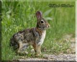 Often Rabbits Are Seen Alongside Of Roads