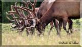 Antlers Of Both A Elk And Red Deer