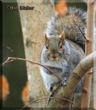 The Grey & Red Squirrel Gallery