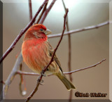 Purple Finch With A Halo