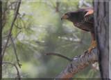 A Harris's Hawk (Parabuteo unicinctus)