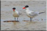 Caspian Terns Have A Little Conversation