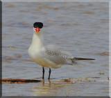 Caspian Tern Watching Me
