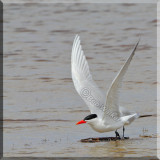 Caspian Tern Decided to Take Off On Me