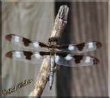 Libellula pulchella Or Commonly Called A Twelve-spotted Skimmer