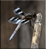 Another Close View Of The Twelve-spotted Skimmer