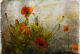 Poppies from Italy
