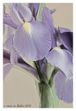 iris~3