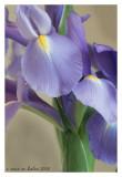 iris~4