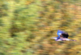 IMG_5002 Blue Heron in Flight at Bless Platform Sept 7
