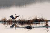IMG_5013 Blue Heron at Sunset Sept 8