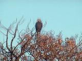 2011_10_22 Eagle on Webcam