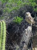 2011_03_08 Peruvian Owl in the Hills
