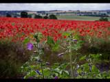 Poppy field 19